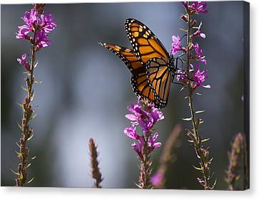 Monarch Butterfly Canvas Print by Michel DesRoches