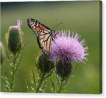 Monarch Butterfly On Bull Thistle Wildflowers Canvas Print by Kathy Clark