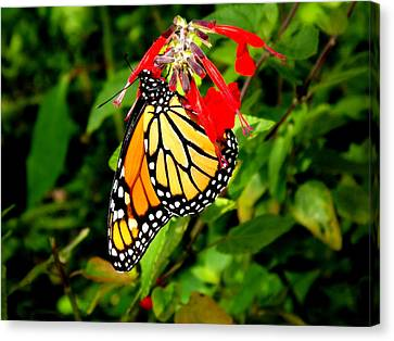 Canvas Print featuring the photograph Monarch Butterfly On Red Flowers by Jodi Terracina