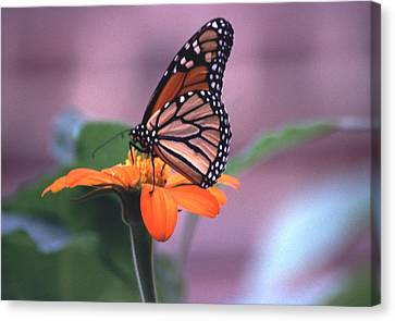 Canvas Print featuring the photograph Monarch Butterfly On Tithonia Sunflower by Tom Wurl