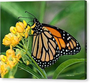 Monarch Butterfly Canvas Print by Susi Stroud