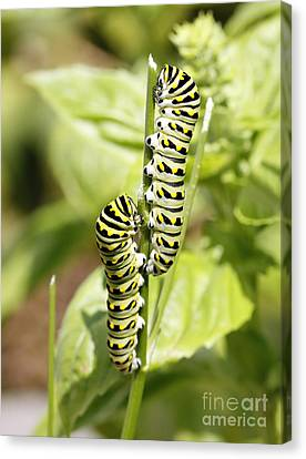 Monarch Caterpillars Canvas Print by Denise Pohl