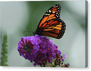 Monarch On Purple Canvas Print