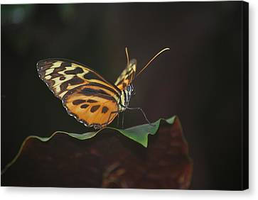 Monarch Perch Canvas Print by Amee Cave