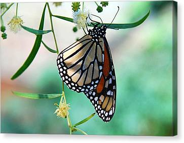 Canvas Print featuring the photograph Monarch by Tam Ryan