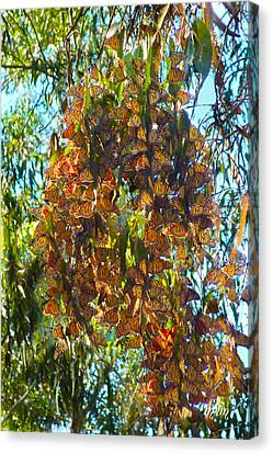 Monarchs At Rest Canvas Print
