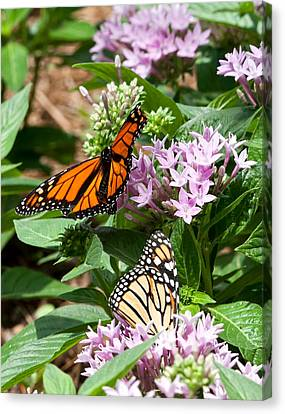 Monarchs Canvas Print by Susi Stroud