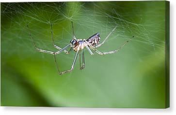 Money Spider Canvas Print