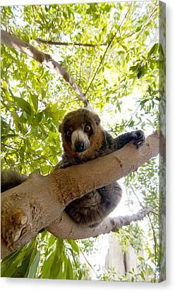 Mongoose Lemur Canvas Print by Fabrizio Troiani