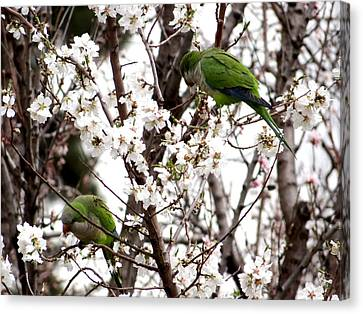 Monk Parakeets Canvas Print by Keith Stokes