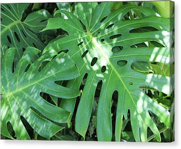Monstera Leaves In The Shade Canvas Print by Kerri Ligatich