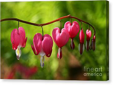 Month Of May Bleeding Hearts Canvas Print by Steve Augustin
