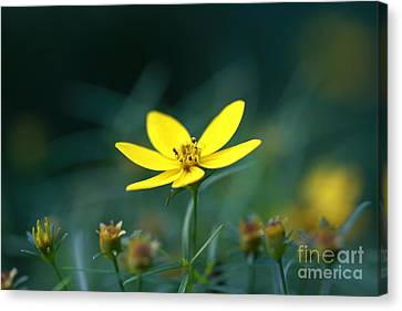 Canvas Print featuring the photograph Moonbeam Coreopsis by Denise Pohl