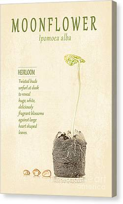 Moonflower Vine Seedling  Canvas Print by Anne Kitzman