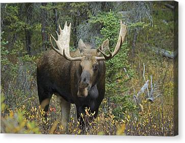 Moose Alces Alces In The Forest Alberta Canvas Print by Philippe Widling