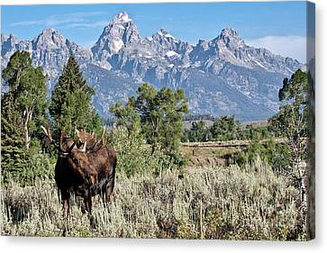 Moose And The Grand Canvas Print by Rodney Cammauf