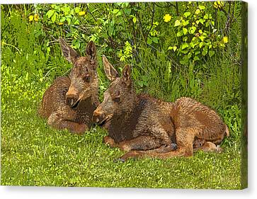 Moose Twins- Abstract Canvas Print by Tim Grams