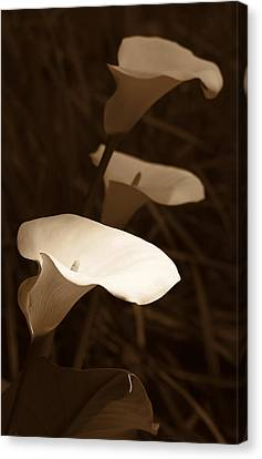 Morning Calla Lilies Sepia Canvas Print by Jennie Marie Schell
