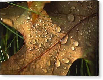 Morning Dew On Oak Leaf Canvas Print