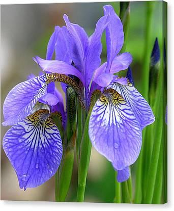 Morning Dew On Siberian Iris Canvas Print by Anne Gordon