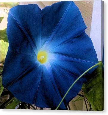 Morning Glory Blue Canvas Print by Tammy Herrin