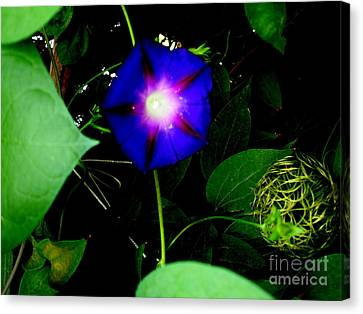 Morning Glory Glory Canvas Print by Marilyn Magee