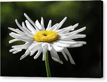 Morning Light Shasta Daisy Flower Canvas Print