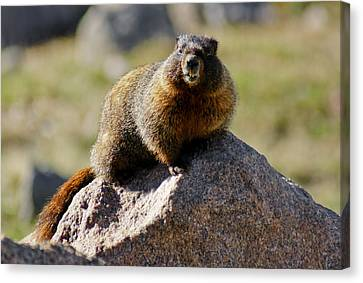 Morning Marmot Canvas Print by Colleen Coccia