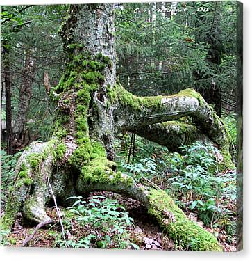 Moss Covered Tree Roots Canvas Print