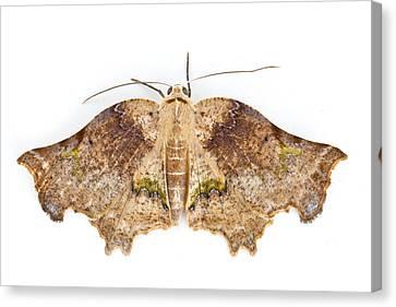 Moth Braulio Carrillo Np Costa Rica Canvas Print by Piotr Naskrecki