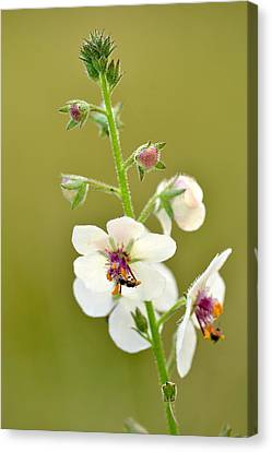 Canvas Print featuring the photograph Moth Mullein by JD Grimes