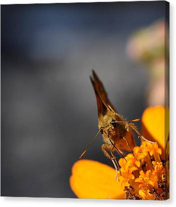 Canvas Print featuring the photograph Moth On A Zinnia Blossom by Ronda Broatch