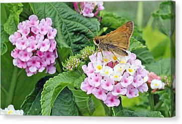 Moth On Lantana Canvas Print by Becky Lodes