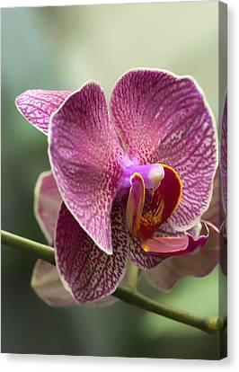Moth Orchid Curvation Canvas Print