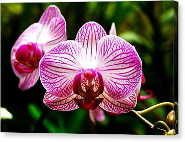 Canvas Print featuring the photograph Moth Orchid by Pravine Chester