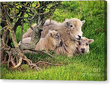 Mother And Babies Canvas Print by Jason Connolly