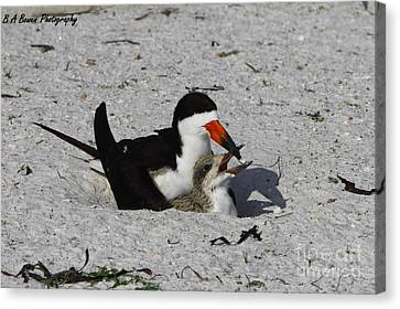 Mother And Baby Black Skimmer Canvas Print by Barbara Bowen