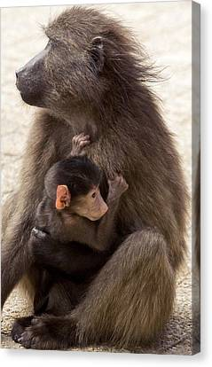Mother And Baby Chacma Baboon Canvas Print by Bob Gibbons