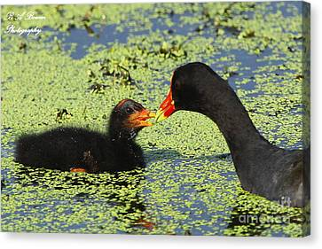Mother Common Gallinule Feeding Baby Chick Canvas Print by Barbara Bowen