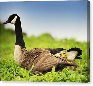 Mother Goose And The Loud One Canvas Print by Vicki Jauron