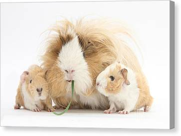 Mother Guinea Pig And Baby Guinea Canvas Print by Mark Taylor
