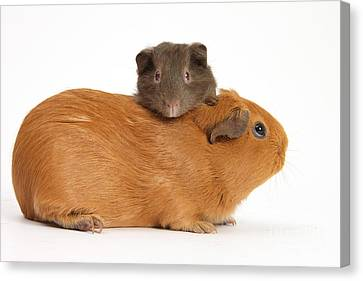 Mother Guinea Pig With Baby Guinea Pig Canvas Print by Mark Taylor