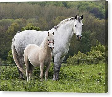 Mother Horses And Baby Horses Canvas Print by DSW Creative Photography