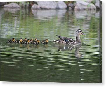 Mother Mallard And Ducklings Canvas Print by Jeanne Kay Juhos