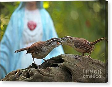 Canvas Print featuring the photograph Mother Wren Feeding Juvenile Wren by Luana K Perez