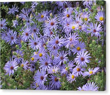 Canvas Print featuring the photograph Mother's Asters by Shawn Hughes