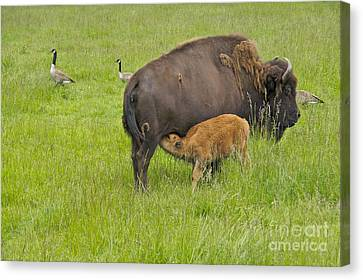 Mother's Milk Canvas Print by Sean Griffin
