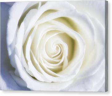 Mother's White Rose Canvas Print by Linda Dunn
