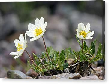 Avens Canvas Print - Mountain Avens (dryas Octopetala) by Duncan Shaw