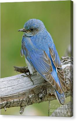 Mountain Bluebird Canvas Print by Doug Herr